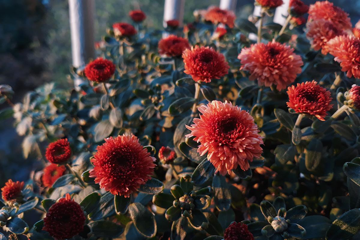 Boekentip: met Liefde voor dahlia's breng je kleur in je tuin